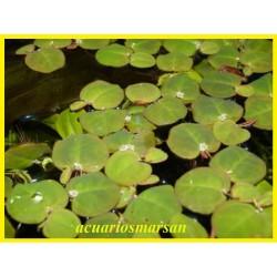 Phyllantus fluitans.8...