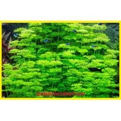 Ambulia. limnophila...