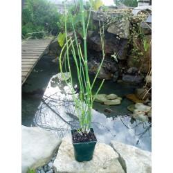 Equisetum hyemaleen...