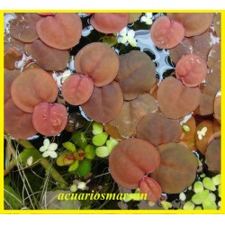 Phyllantus fluitans RED .8...