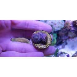Coral Discosoma