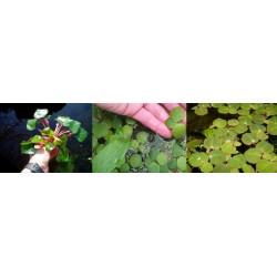 Plantas de estanque lote de...